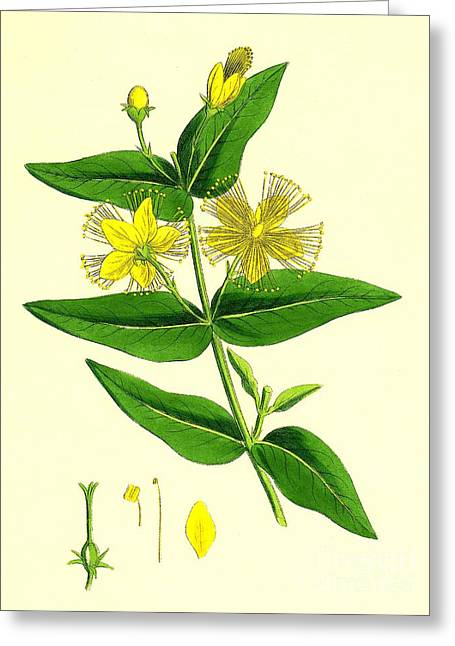 Antidepressant Greeting Cards - St Johns Wort Greeting Card by Sheila Terry
