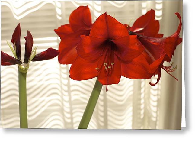 S Amaryllis Greeting Cards - Stages of Amaryllis Greeting Card by Jane Eleanor Nicholas