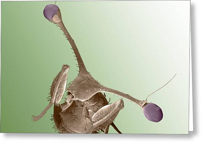 Scanning Electron Microscope Greeting Cards - Stalk-eyed fly, SEM Greeting Card by Science Photo Library