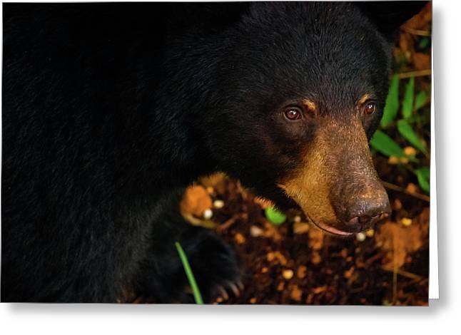 American Brown Bear Greeting Cards - Stalker Greeting Card by Christi Kraft
