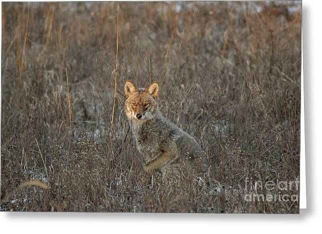 Stalking Coyote Greeting Card by Wilma  Birdwell