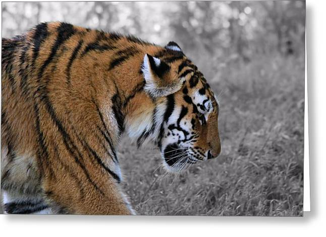 Large Cats Greeting Cards - Stalking Tiger Greeting Card by Dan Sproul