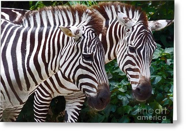 Zebra Pictures Greeting Cards - Stallions Greeting Card by Skip Willits