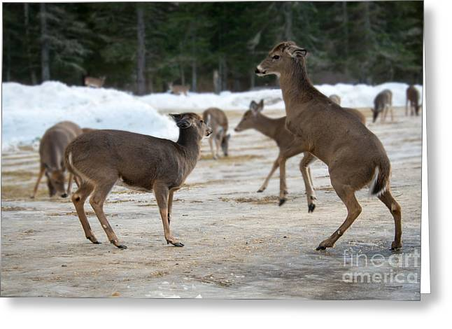 My Space Greeting Cards - Stand Clear Deer Greeting Card by Mary Koenig Godfrey