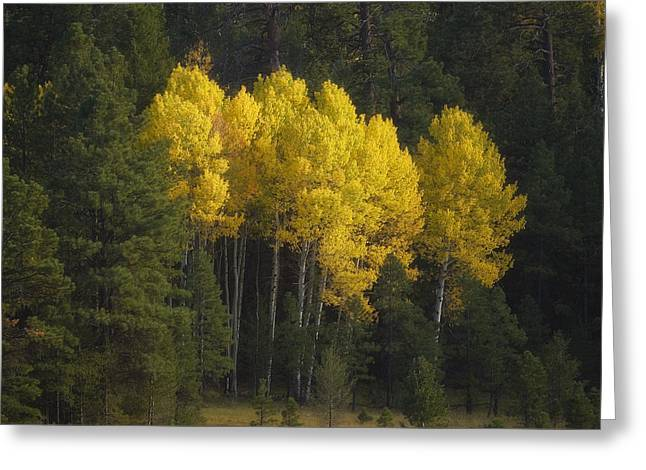 Coconino National Forest Greeting Cards - Stand of Gold Greeting Card by Peter Coskun