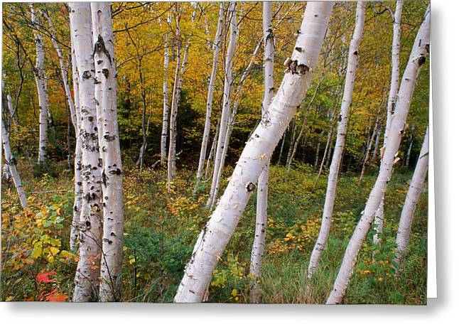 Rural Maine Greeting Cards - Stand Of White Birch Trees Greeting Card by Panoramic Images