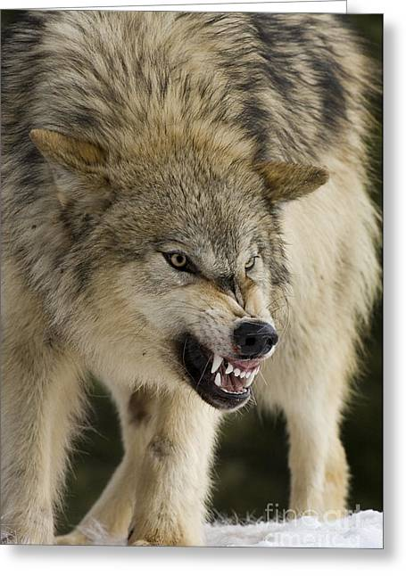 Growling Greeting Cards - Stand Off Greeting Card by Wildlife Fine Art