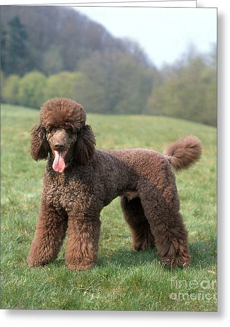 Panting Dog Greeting Cards - Standard Poodle Greeting Card by Hans Reinhard/Okapia