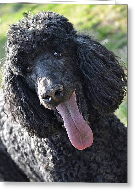 Best Friend Photographs Greeting Cards - Standard Poodle Greeting Card by Lisa  Phillips