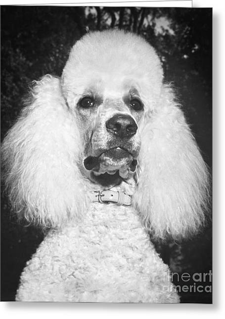 Standard Poodle Greeting Card by ME Browning