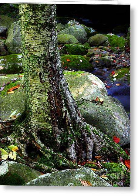 Tree Roots Greeting Cards - Standing Along The Stream Greeting Card by Michael Eingle