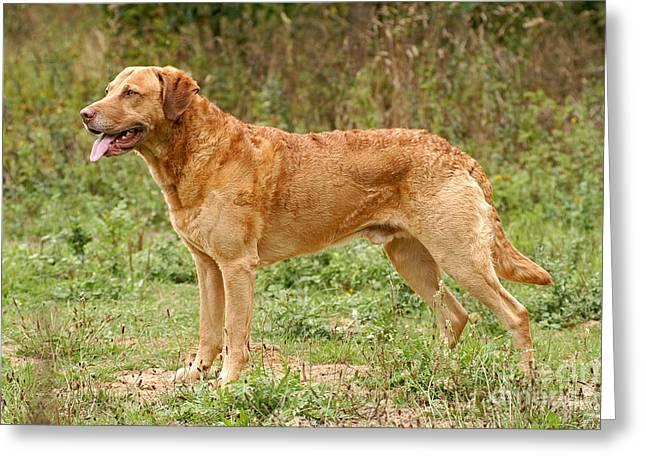 Attentive Labrador Dog Greeting Cards - Standing Chesapeake Bay Retriever dog Greeting Card by Dog Photos