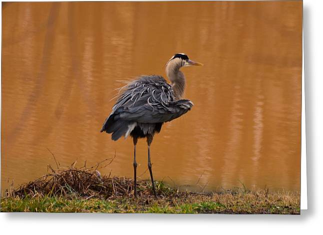 Crane Greeting Cards - Standing Heron Fluffing Wings - 10333c Greeting Card by Paul Lyndon Phillips