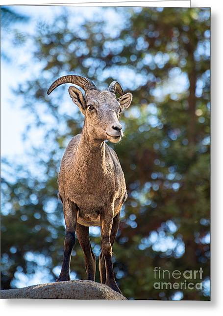 Bighorn Sheep Greeting Cards - Standing Proud Greeting Card by Jamie Pham