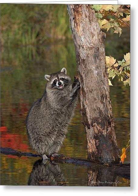 Standing Raccoon Greeting Card by Daniel Behm