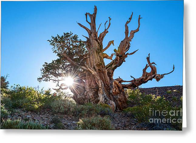 Oldest Living Tree Greeting Cards - Standing Strong - Sun burst view of the Ancient Bristlecone Pine Forest. Greeting Card by Jamie Pham