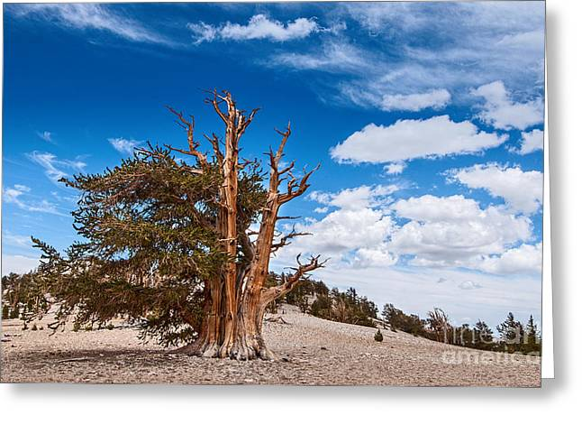 Patriarch Greeting Cards - Standing Strong - View of the Ancient Bristlecone Pine Forest. Greeting Card by Jamie Pham