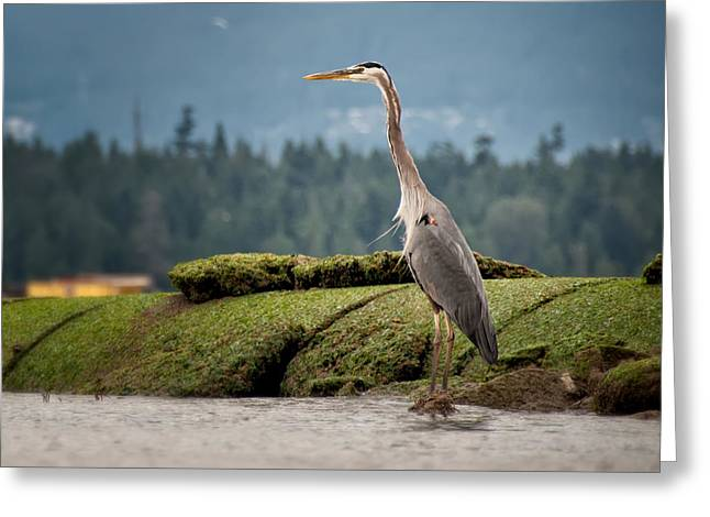Water Fowl Greeting Cards - Standing Tall Greeting Card by James Wheeler