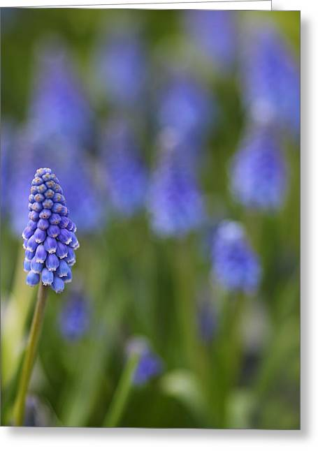 Bluebells Greeting Cards - Standout Greeting Card by Rebecca Cozart