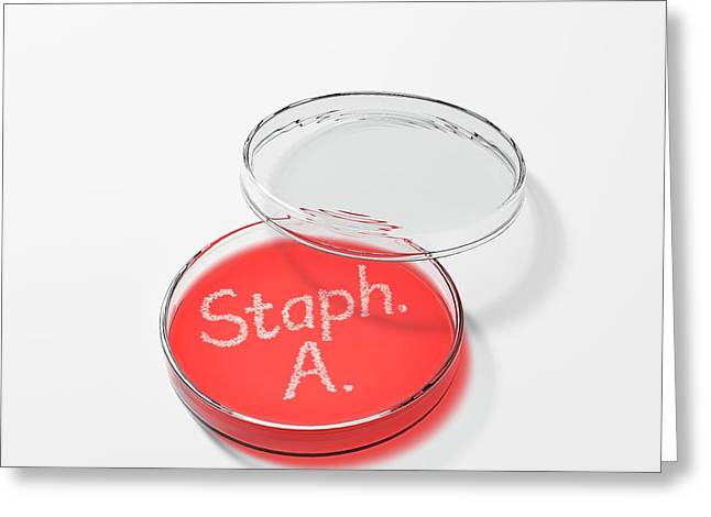 Staphylococcus Aureus In A Petri Dish Greeting Card by David Parker