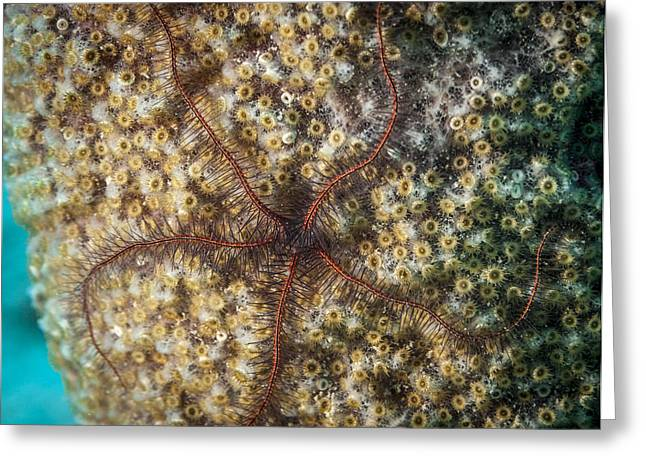 Underwater Diva Greeting Cards - Star Attraction Greeting Card by Jean Noren