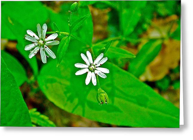Natchez Trace Parkway Greeting Cards - Star Chickweed on Rock Spring Trail on Natchez Trace Parkway-Alabama Greeting Card by Ruth Hager