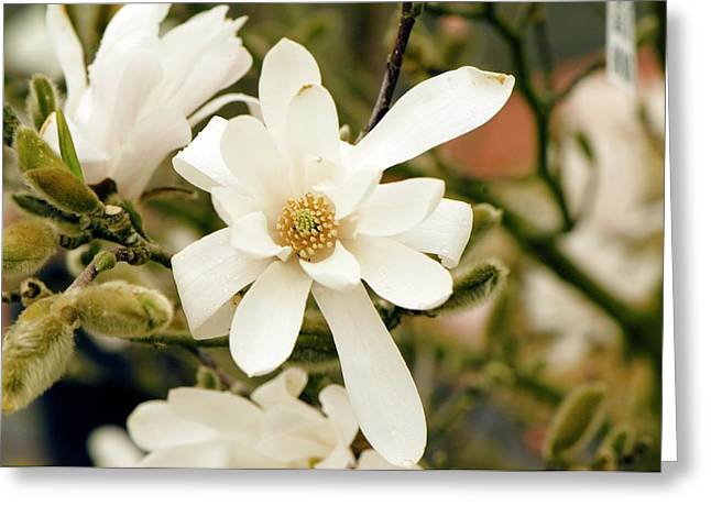 Star Magnolia (magnolia Stellata) Greeting Card by Adrian Thomas