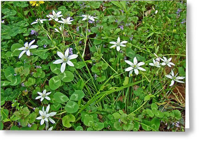 Star Of Bethlehem Greeting Cards - Star Of Bethlehem Wildflowers - Ornithogalum umbellatum Greeting Card by Mother Nature
