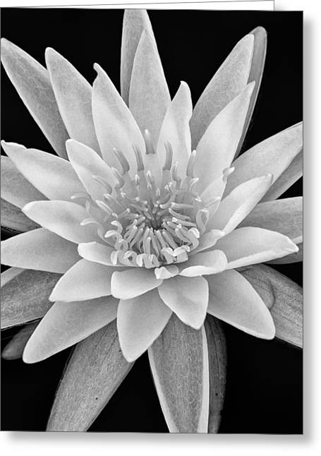 White Lotus Greeting Cards - Star Of The Water Greeting Card by Jeff Sinon
