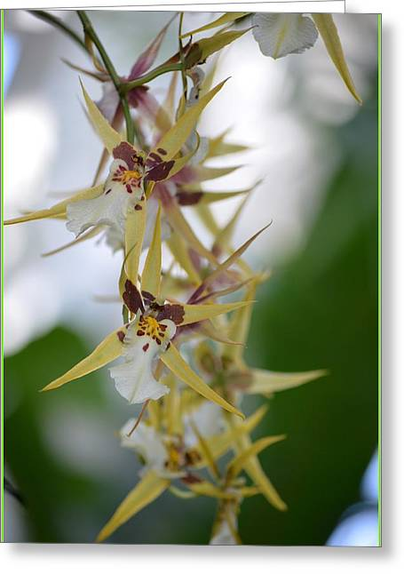 Magnificient Flowers Greeting Cards - Star orchids Greeting Card by Sonali Gangane
