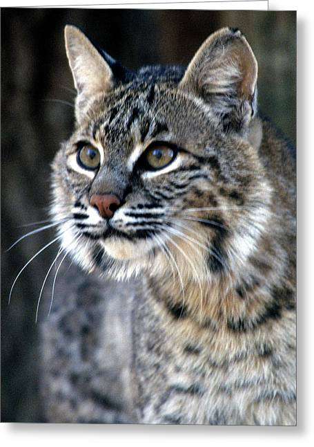 Bobcats Greeting Cards - Stare before attack Greeting Card by Larry Allan