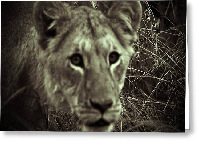 Lioness Greeting Cards - Stare Down Greeting Card by Pamela Peters