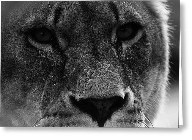 Lions Greeting Cards - Stare of a Lion Greeting Card by Martin Newman
