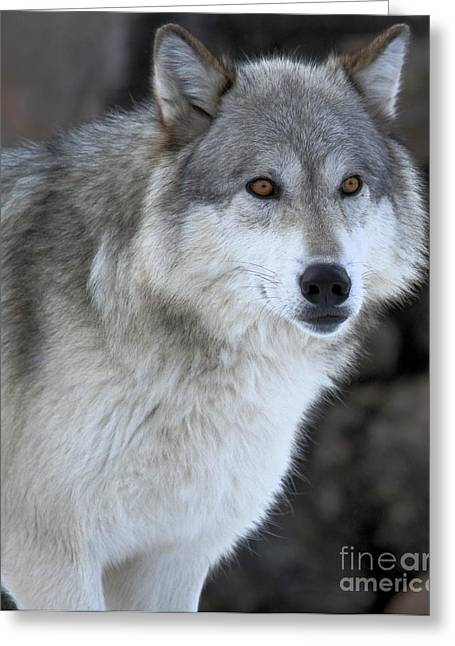 Alpha Wolf Greeting Cards - Staredown Greeting Card by Adam Jewell
