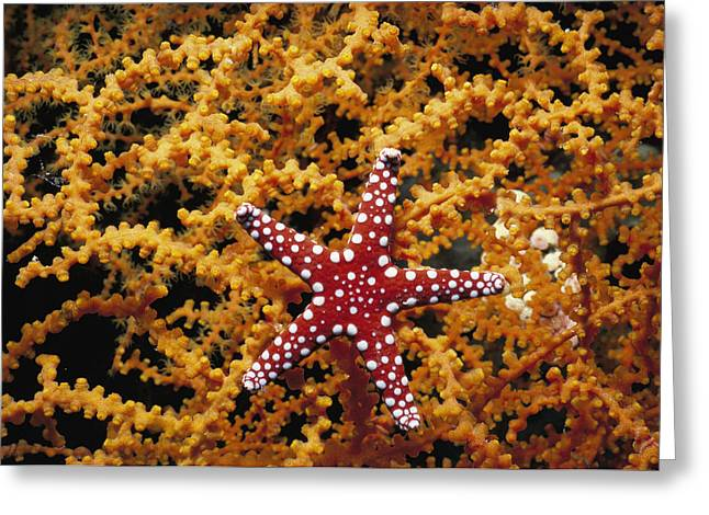 Starfish Feeding On Coral In The Red Sea Greeting Card by Jeff Rotman