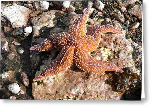 Invertebrates Greeting Cards - Starfish Greeting Card by James Petersen