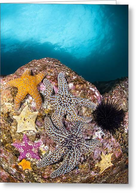 Starfish In Water Greeting Cards - Starfish on Reef Greeting Card by Joe Belanger