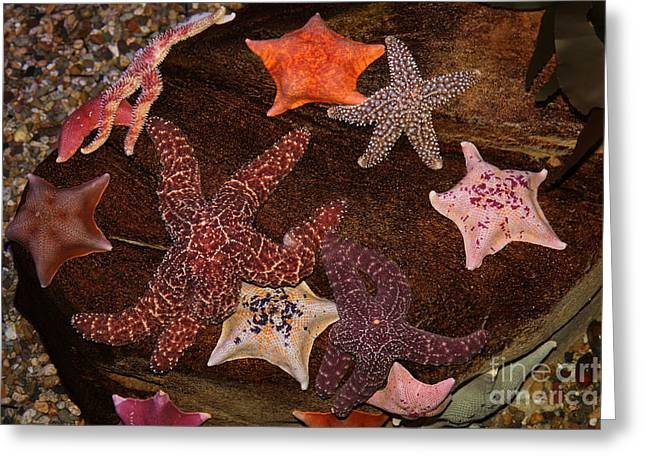 Invertebrates Greeting Cards - Starfish Variety 5D24133 Greeting Card by Wingsdomain Art and Photography
