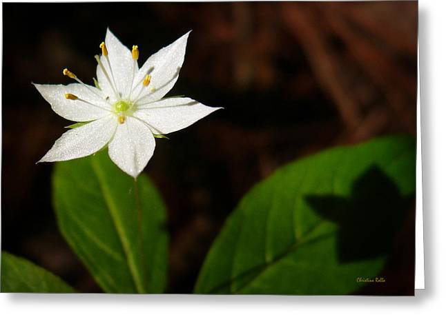 Starflower Greeting Card by Christina Rollo
