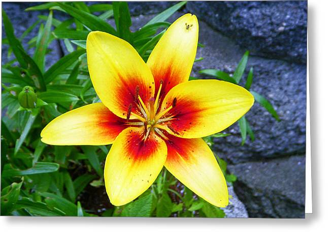 Springtime Greeting Cards - Stargazer Greeting Card by Aimee L Maher Photography and Art