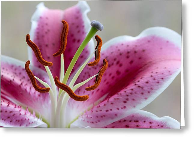 Botanical Pyrography Greeting Cards - Stargazer Lily Greeting Card by Randy Walton