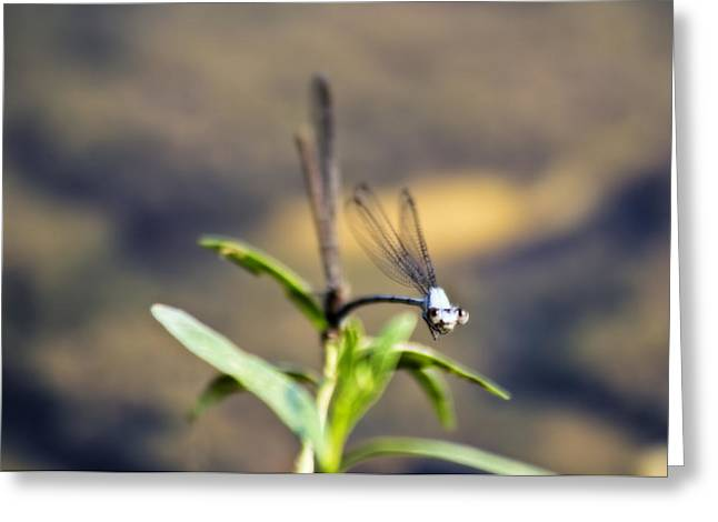 Nature Greeting Cards - Staring Dragonfly Greeting Card by Francis Sullivan