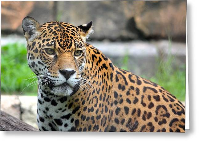 Jacksonville Greeting Cards - Staring Jaguar Greeting Card by Richard Bryce and Family