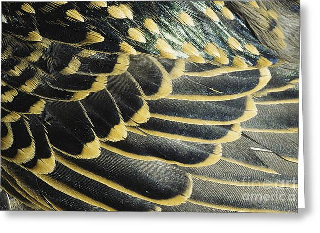 Starlings Greeting Cards - Starling Feathers Greeting Card by William H. Mullins
