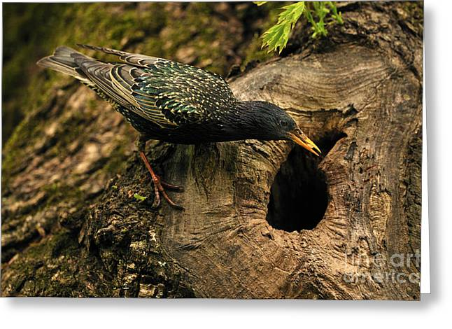 Starlings Greeting Cards - Starling Feeding Chicks Greeting Card by Reiner Bernhardt