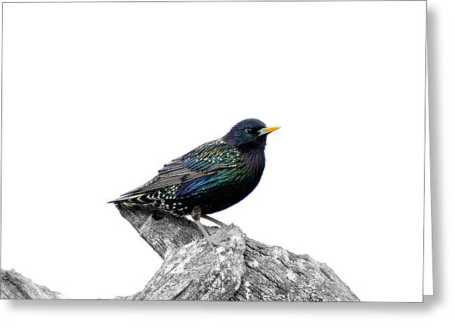 Cut-outs Mixed Media Greeting Cards - Starling on roof Greeting Card by Toppart Sweden