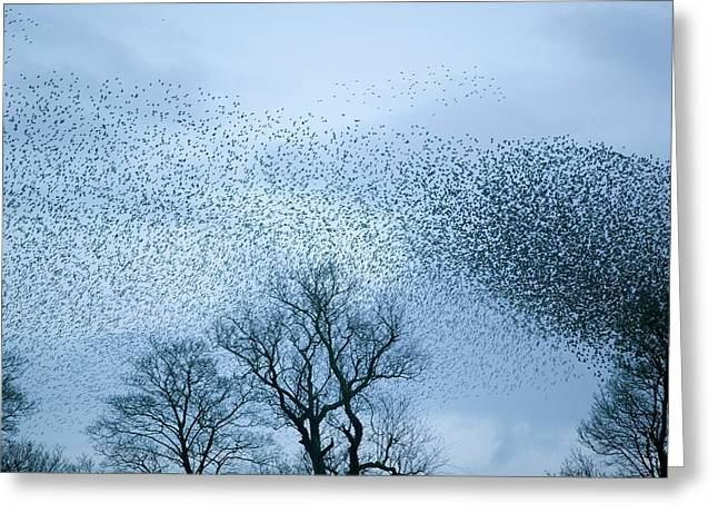 Starlings Flying To Roost Greeting Card by Ashley Cooper