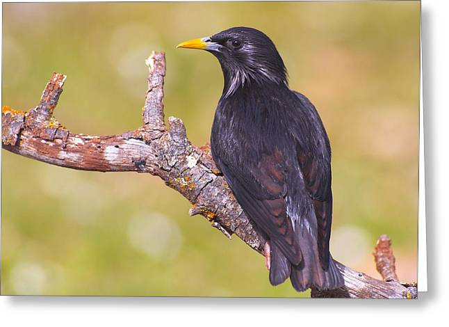 Starlings Greeting Card by Guido Montanes Castillo
