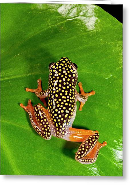 Starry Night Reed Frog, Heterixalus Greeting Card by David Northcott