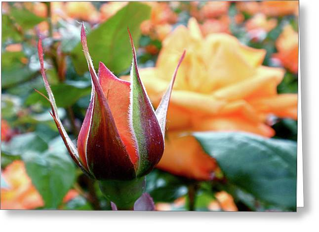 Yellow Roses Greeting Cards - Starting Out Greeting Card by Rona Black